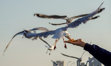 Hand Man Feeding Seagull Bird ...
