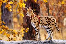 Serval Wild Cat Against Autumn Yellow Background