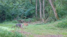 Whitetail Deer Doe And Her Two Fawns Grazing On A Clover Covered Trail Thru The Woods In Late Summer In The Midwest