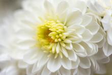 White Chrysanthemum Macrophoto...