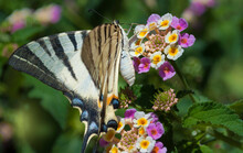 The Papilio Machaon, The Old W...