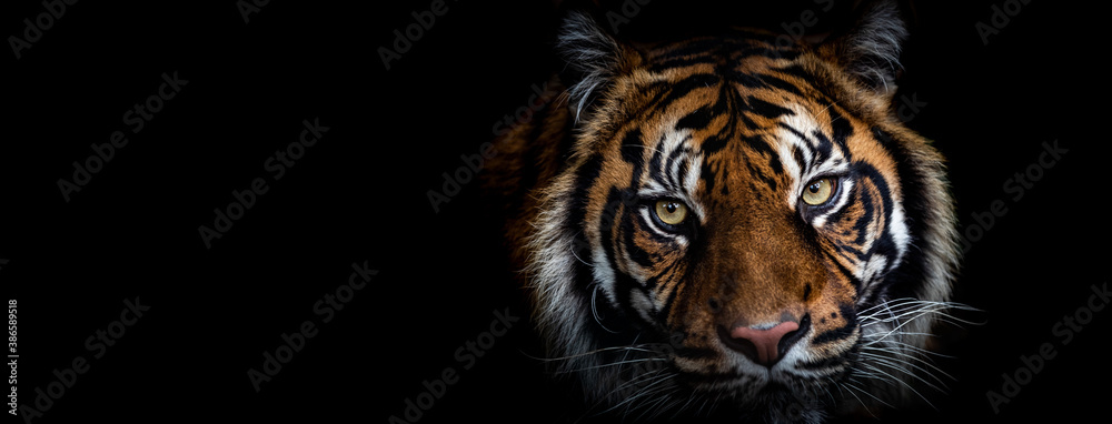 Fototapeta Template of Portrait of Tiger with a black background