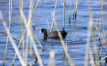 Duck On The Water With Reeds