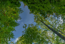 Upwards View To The Treetops In A Forest With Green Foliage And Blue Cloudy Sky. Green Treetops Against Blue Cloudy Sky. Forest Therapy,  Forest Bathing, Shinrin-Yoku Concept.