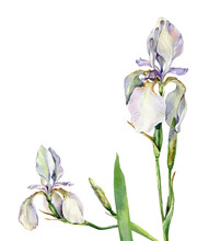 Two Watercolor Irises On A White Background
