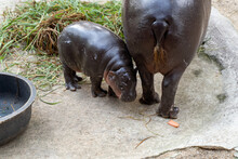 Pygmy Hippopotamus (Choeropsis Liberiensis)  Mother And Baby Couple