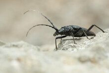 Musk Beetle (Aromia Moschata) Sitting On A Rock. Beautiful Black Bug In Its Habitat. Insect Portrait With Soft Grey Background. Wildlife Scene From Nature. Croatia