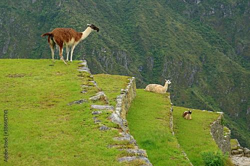 Naklejka premium Three of llama relaxing on the agricultural terrace of Machu Picchu Inca citadel, Cusco region, Peru