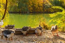 A Family Of Ducks. House For Ducks In The Park. Ducks In The Park Near The Lake. Wooden Duck House. Duck Feeder. Park In The Fall. Gold Autumn. Yellow Leaves On The Trees. Autumn Pond