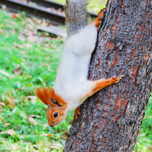 A Fluffy Red Squirrel Descends From A Tree In An Autumn Park. Close-up