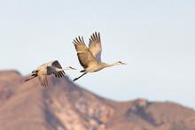 Beautiful Sandhill Cranes In B...