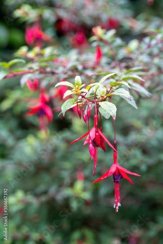Naklejka premium Hardy fuchsia blossoms in summer