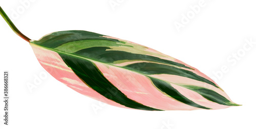 Stromanthe triostar leaf, Tropical foliage isolated on white background, with cl Billede på lærred