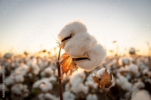 Foto Cotton bud with the sunset