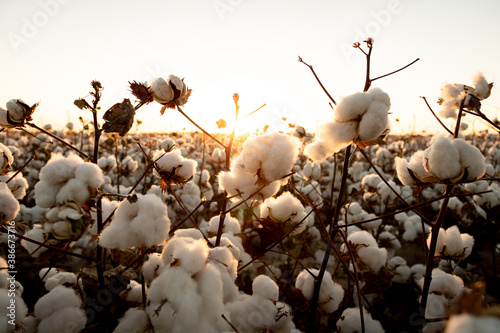 cotton buds in the field