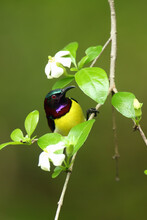 The Purple-rumped Sunbird (Leptocoma Zeylonica) Sitting On The Branch With Green Background. Little Asian Sunbird Sitting On A Thin Branch With A Green Background.