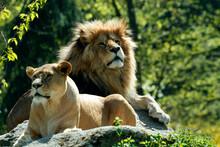 Löwe (Panthera Leo) Mit Weibchen Auf Fels