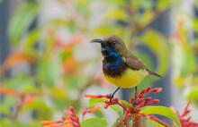 Beautiful Yellow Bird Male Oli...