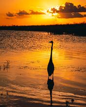 Great Blue Heron Wading During...