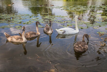 Family Of Swans - A Parent With Four Young Birds