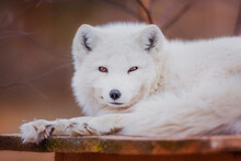 A Very Beautiful Arctic Fox In The Reserve Is Resting During The Day In Winter