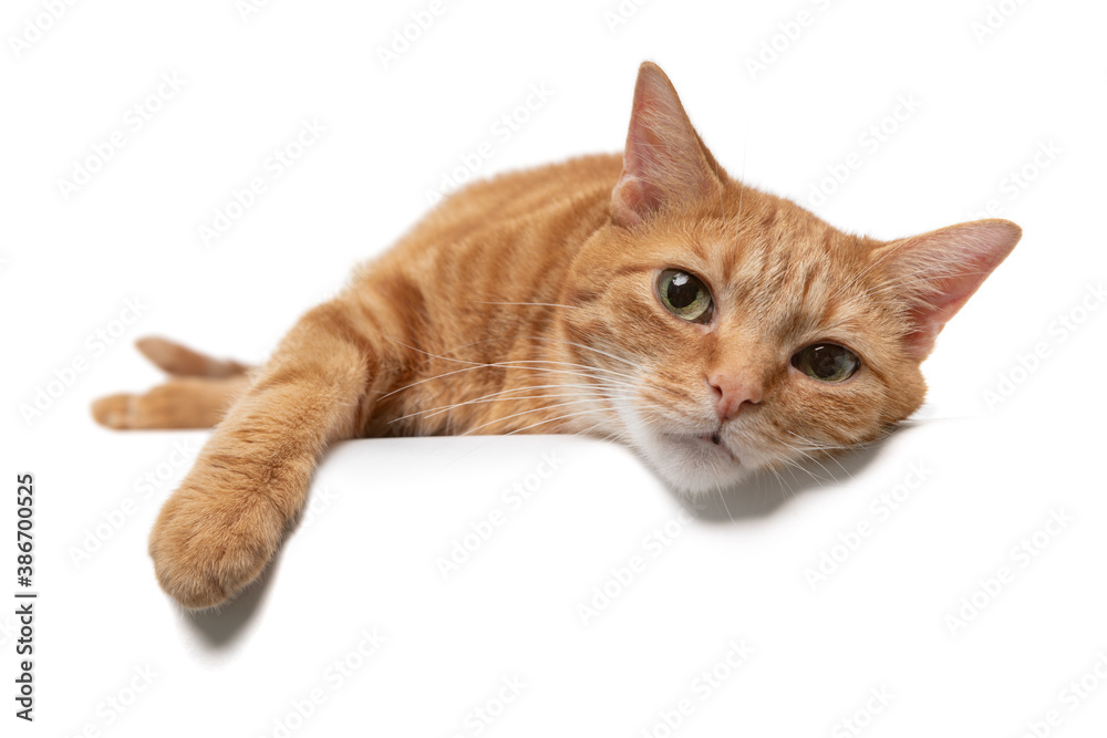 Fototapeta Portrait of an orange tabby cat slumped over a table isolated on a white background