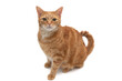 Full body portrait of an orange tabby cat isolated on a white background