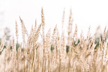 Beautiful Abstract Closeup Of Golden Dried Meadow Grass. Beautiful Fall Rural Nature Background Landscape. Great Design For Any Purposes.