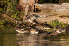 Wood Duck (Aix Sponsa) In Autumn