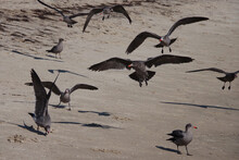 A Flock Of Young Gray Seagulls Flying Over An Ocean Beach