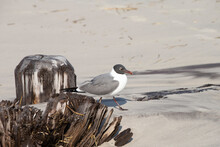 Laughing Gulls On A Beach Near...