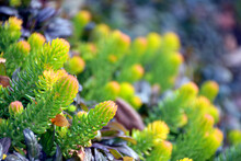 Blurred Bokeh Abstract Of Sedum Angelina And Ajuga Chocolate Chip In Autumn In The Garden