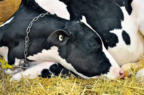 Naklejka premium A holstein cow sleeping at the Royal Winter Fair in Toronto.