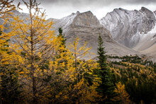 Larch Trees In Fall Colours During A Hike At Arethusa Cirque Near Banff Alberta.
