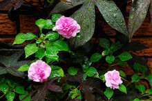 Three Pink Impatiens Flowers A...