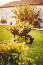 Final Garden Work Of Autumn. Green Wheelbarrow In The Garden. Garden Wheelbarrow Full Of Dry Leafs And Branches. Autumn Garden Theme.