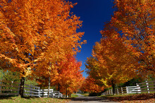 Red Maple Trees Against A Blue...