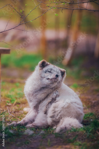 Naklejka premium Arctic fox in May resting in nature in the reserve on the grass