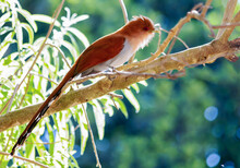 The Exotic Squirrel Cuckoo Als...