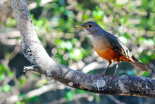 """The Rufous-bellied Thrush Also Know """"sabia-laranjeira"""" Perched On A Branch Of A Tree. The Rufous-bellied Thrush Is A Bird Typical Of Brazil. Birdwathching. Bird Lover."""