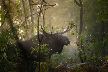 Łoś w w lesie