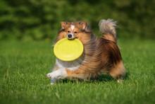 Sheltie Dog Playing With A Frisbee Disc. Dog Activity. Shetland Sheepdog Breed.