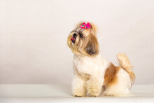 Shih Tzu Dog With Front Bow On...