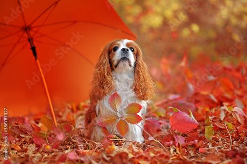 Fotografie, Obraz Cavalier King Charles Spaniel sitting under the orange umbrella