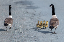 Two Adult Canada Geese Walking Along With Their Five Goslings As A Family. The Mother And Father Pair Have Young Yellow Down Covered Babies. One Adult Bird Is Looking Towards The Other Comically.