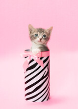 Tiny Gray And White Kitten Standing Up  In Black And White Birthday Gift Box, Canister, Pink Background.