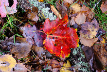 Colorful Red And Wet Maple Leaf Laying On Lichen Covered Branches