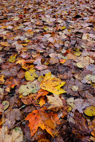 Fotografía Orange and yellow leaves lay among decaying leaves in the forest
