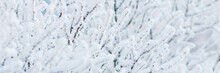 Snow And Rime Ice On The Branc...