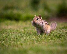 Chipmunk On The Grass